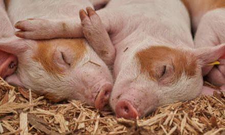Le porc, un animal plus que particulier